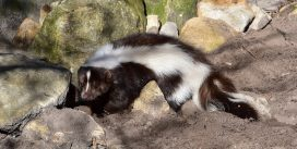 The easiest method to Keep Skunk Odor From Disbursing