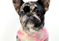 5 things you need to know BEFORE you have a French bulldog
